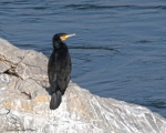پرنده نگري - باکلان - Great Cormorant - Phalacrocorax carbo