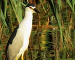 پرنده نگري - حواصیل شب - Black-crowned Night-heron - Nycticorax nycticorax