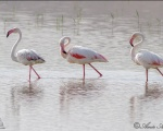 پرنده نگري - فلامینگو - Greater Flamingo - Phoenicopterus ruber