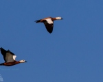 پرنده نگري - آنقوت - Ruddy Shelduck - Tadorna ferruginea