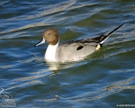 پرنده نگري - فیلوش - Northern Pintail - Anas acuta