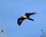 پرنده نگري - هما - Bearded Vulture - Gypaetus barbatus