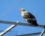 پرنده نگري - کرکس - Egyptian Vulture - Neophron percnopterus