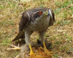 پرنده نگري - طرلان - Northern Goshawk - Accipiter gentilis