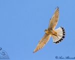 پرنده نگري - دلیجه - Common Kestrel - Falco tinnunculus
