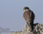 پرنده نگري - ترمتای - Merlin - Falco columbarius