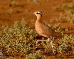 پرنده نگري - دودوک - Cream-colored Courser - Cursorius cursor