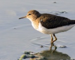 پرنده نگري - آبچلیک آواز خوان - Common Sandpiper - Actitis hypoleucos