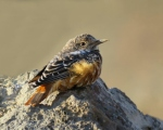 پرنده نگري - طرقه کوهی - Common Rock-thrush - Monticola saxatilis