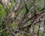 پرنده نگري - بلبل - Common Nightingale - Luscinia megarhynchos