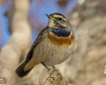پرنده نگري - گلوآبی - Bluethroat - Luscinia svecica
