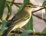 پرنده نگري - سسک بیدی - Willow Warbler - Phylloscopus trochilus