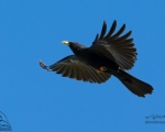 پرنده نگري - زاغ نوک زرد - Yellow-billed Chough - Pyrrhocorax graculus