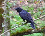 پرنده نگري - غراب - Common Raven - Corvus corax