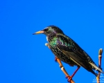 پرنده نگري - سار - Common Starling - Sturnus vulgaris