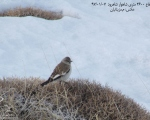 پرنده نگري - گنجشک برفی - White-winged Snowfinch - Montifringilla nivalis