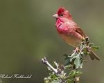 پرنده نگري - سهره گلی - Common Rosefinch - Carpodacus erythrinus